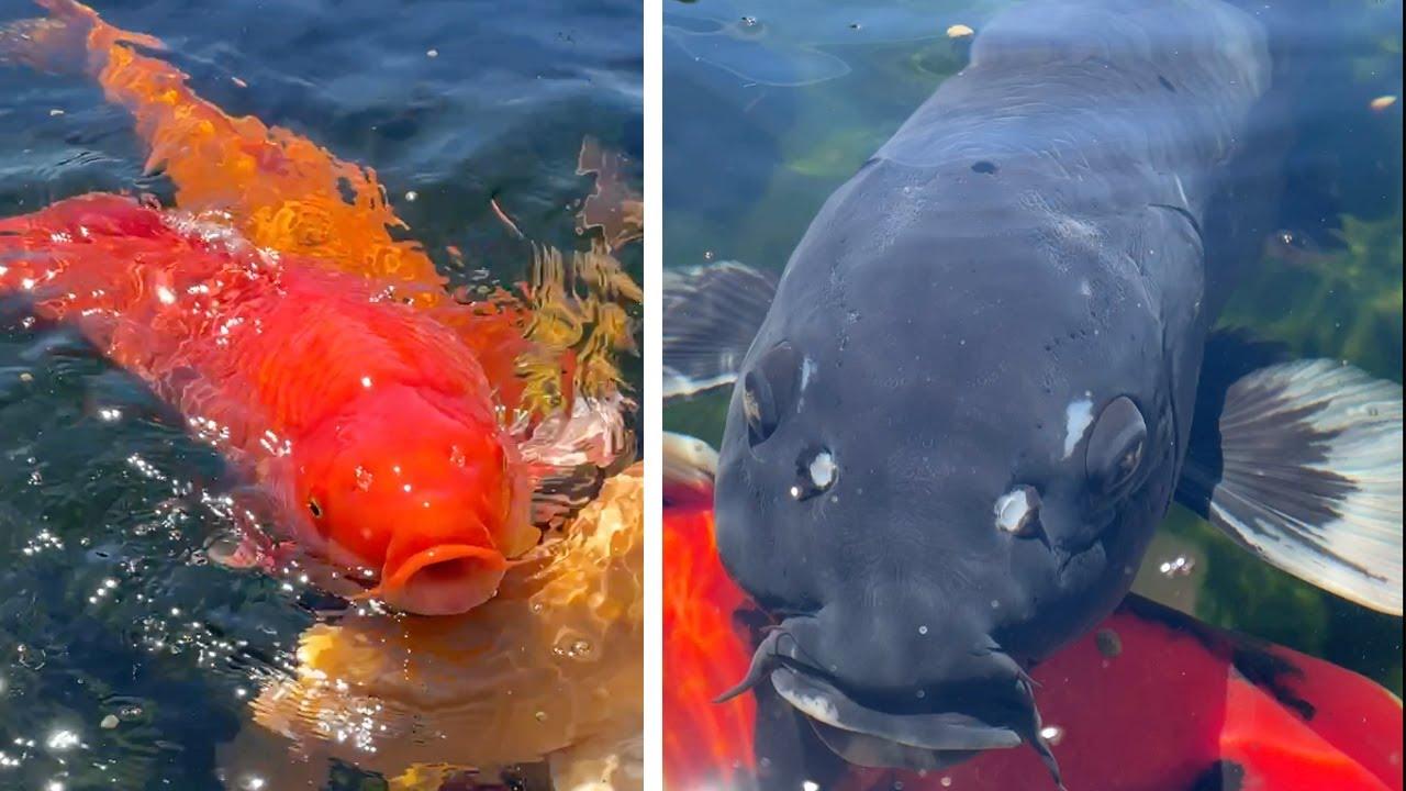 Relaxing Koi Pond *Feeding fish #Shorts