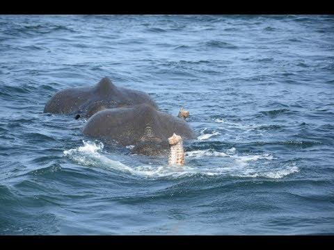 Sri Lanka Deux Elephants Sauves En Pleine Mer Youtube