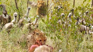 Lion Steals from Vultures that Stole from Cheetah