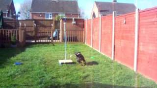 My Staffordshire Bull Terrier  Playing Swingball