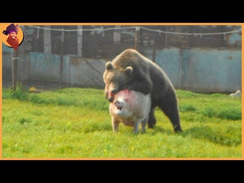 15 Unbelievable Bear Attacks And Interactions Caught On Camera