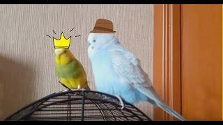 Пара говорящих попугаев || жена капает мужу на мозги :) Прикол