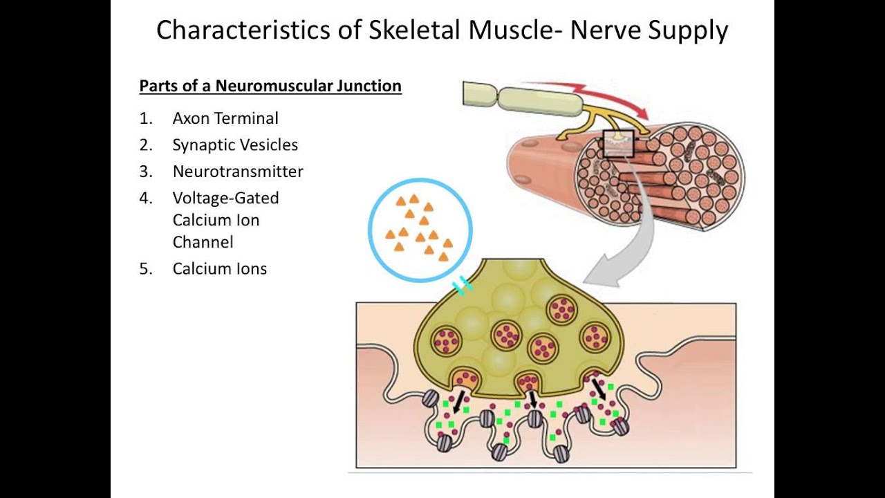 Muscular System The Neuromuscular Junction Youtube