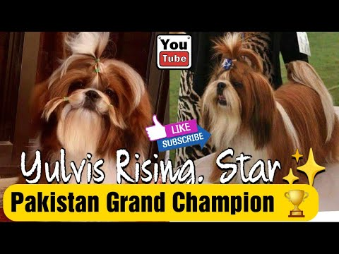 Sidra Atif Shih Tzu Breeder Pakistan My Boy Youtube