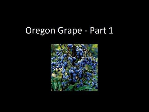 Growing Oregon Grapes - Part 1