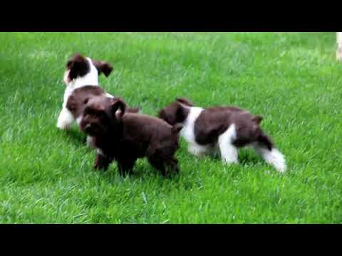 Miniature Schnauzer Puppies For Sale Sam & Anna Kauffman