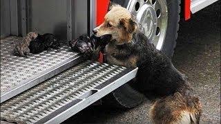 Собака выносила щенков из огня в пожарную машину, умоляя людей спасти ее деток