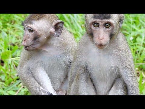 Wild monkey cry - Why all monkeys cry? New monkeys scare