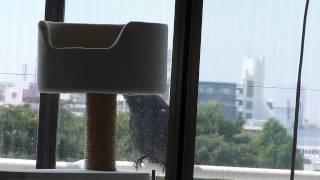 子育て中のツバメ親鳥が近くにいたカラスに威嚇攻撃。 カラスたじたじ。