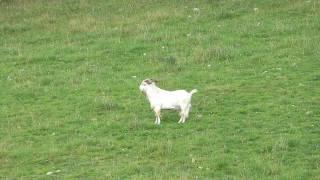 Goat Vs 300WSM 150gr Barnes TTSX Super Slow Motion