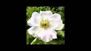 From Georgia (Cherokee Rose)