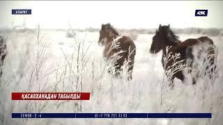 Ұрланған бір үйір жылқысы қасапханадан табылды – Атырау облысы