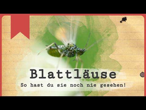 Blattläuse anders betrachtet - Insecticon