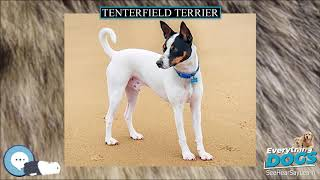 Tenterfield Terrier  Everything Dog Breeds