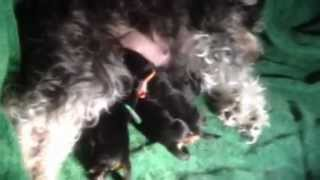 Miniature Schnauzer Whelping And Feeding 1 Day Old Puppies