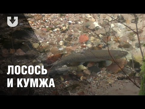 В Беларуси есть свои лосось и кумжа