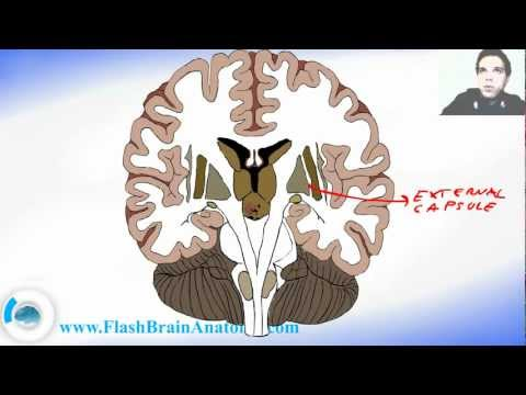 Basal Ganglia Frontal - Section Of The Brain #2