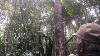 Loud lemurs of Madagascar - the Indri