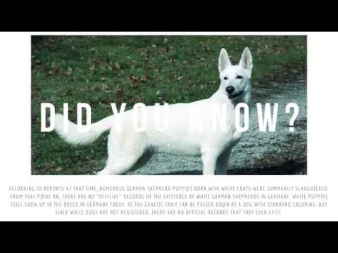 White German Shepherds - Did you know? http://germanshepherdsetc.com/white-german-shepherds/