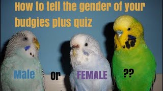 How to tell if your budgie is a male or female