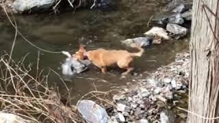 屋久島犬です。 もう老犬と思っていましたが…まだまだ現役でした。