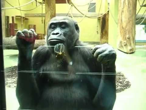 Affe Wirft Mit Kot