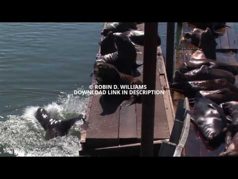 Sea Lions swimming and resting on harbor dock Astoria Oregon USA