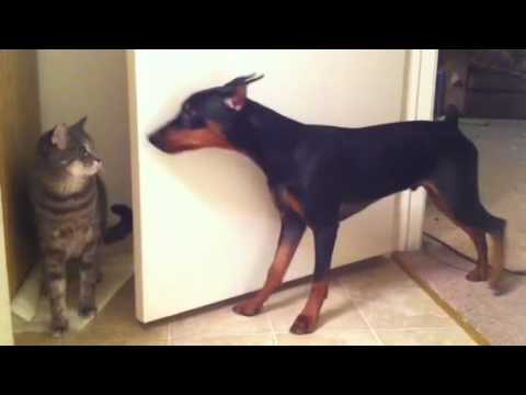 Spock The German Pinscher Playing With His Brother