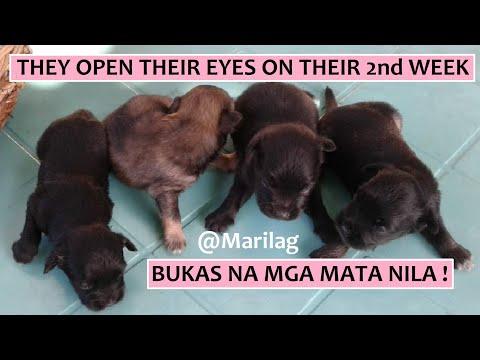 Puppies Open Their Eyes On Their 2nd Week After Birth | Dog Breeds | Affen Puppies