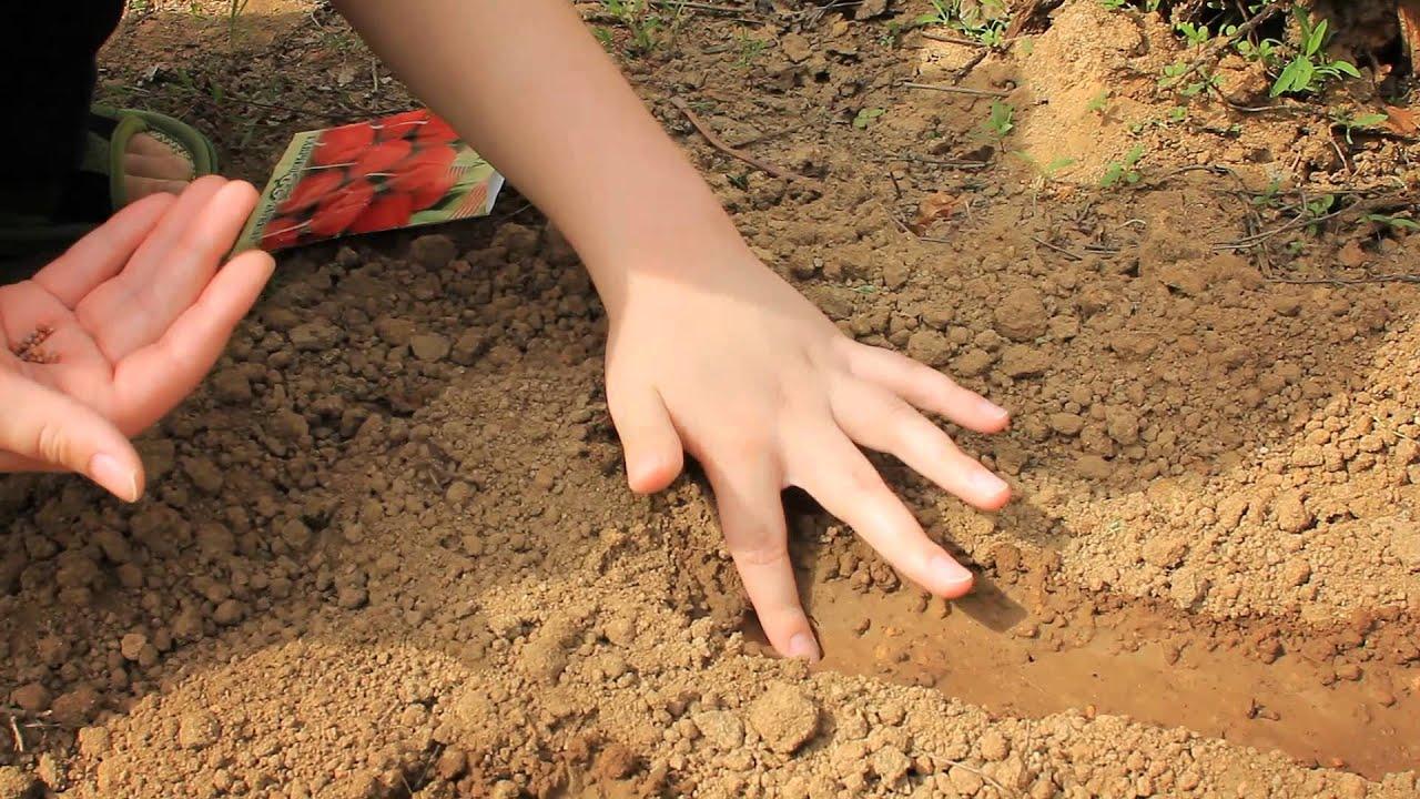 Как сажать семена редиски правильно 24