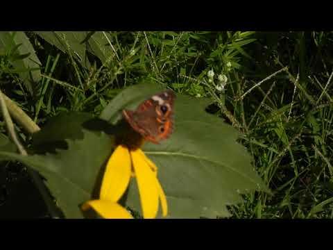 Buckeye Butterflies at Terra Centre Elementary School Pollinator Garden