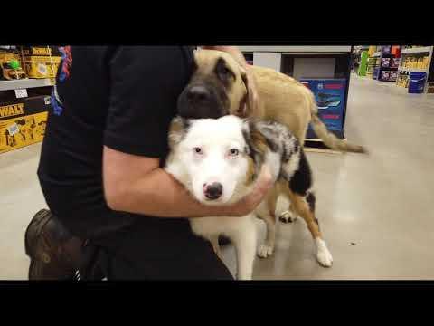 Best Dog Training in Columbus, Ohio! 6 Month Old Australian Shepherd, Pearl!
