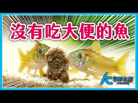 這世界上沒有會吃大便的魚。鼠魚 異形魚 都在撿什麼吃?|AC草影水族 - YouTube