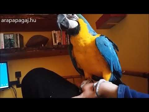 Egészséges ara papagáj