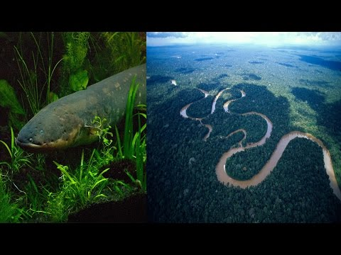 Electric Eels attack Animals of Amazon | Most Amazing Animal Attacks |  Electric Eel