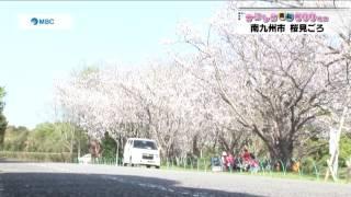 南九州市 桜見ごろ