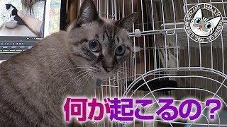 【Jean & Pont 693】保護猫一時預かりのケージに先住猫のチェック 2017/10/24 保護猫育成記録  Jean & Pont thumbnail