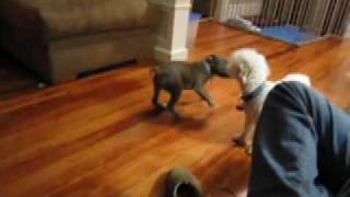 Sadie Tormenting Puppy (staffordshire Bull Terrier)