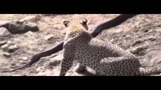 Giant Anaconda vs Jaguar - Python vs Tiger - Python vs Leopard