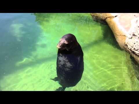 [Original] Silly, spinning Hawaiian Monk Seal