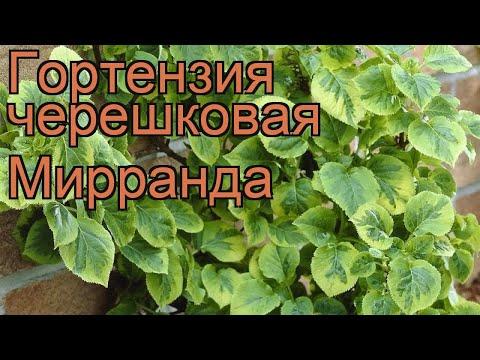 Гортензия черешковая Мирранда (mirranda) 🌿 обзор: как сажать, саженцы гортензии Мирранда
