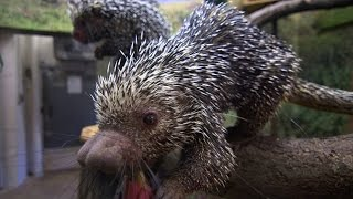​Can a Porcupine Shoot Its Quills?