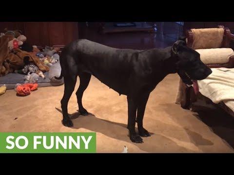 Great Dane decimates cat's scratch pad bed