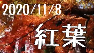 色編集なし!そのままで勝負! #保護犬 #広島 #アトリエブルーボトル 酎さん みーまん ナミヘイ(みーまん嫁)の紅葉巡り。 少しだけさんた(白黒♂)とさくら(白♀)も登場。