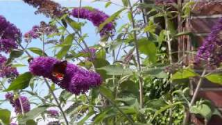 Buddleja Davidii (Schmetterlingsstrauch, Sommerflieder)