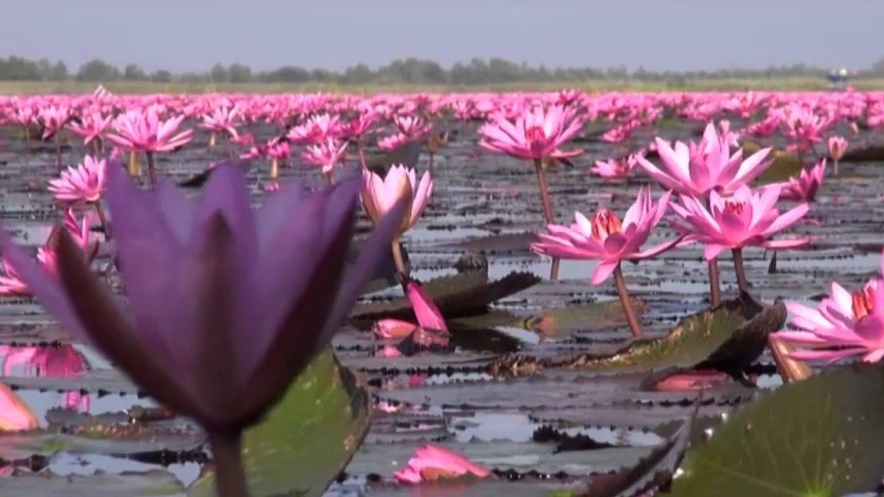 Thale Buadang Lotus Flowers At Lake Kumphawapi Udonthani