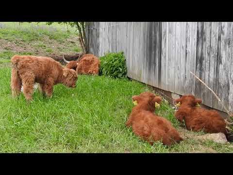 ハイランド牛 大人と仔牛 Highland Cattle calves 2016 0518