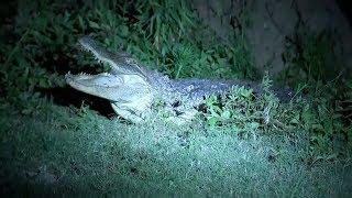 К вам аллигатор: в Техасе сезон бродячих крокодилов