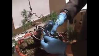 Injerto de un pinus sylvestris