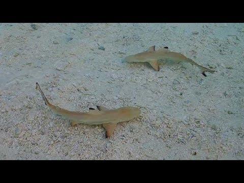 Beach Babies – White Shark Nurseries Of The Northeast Pacific